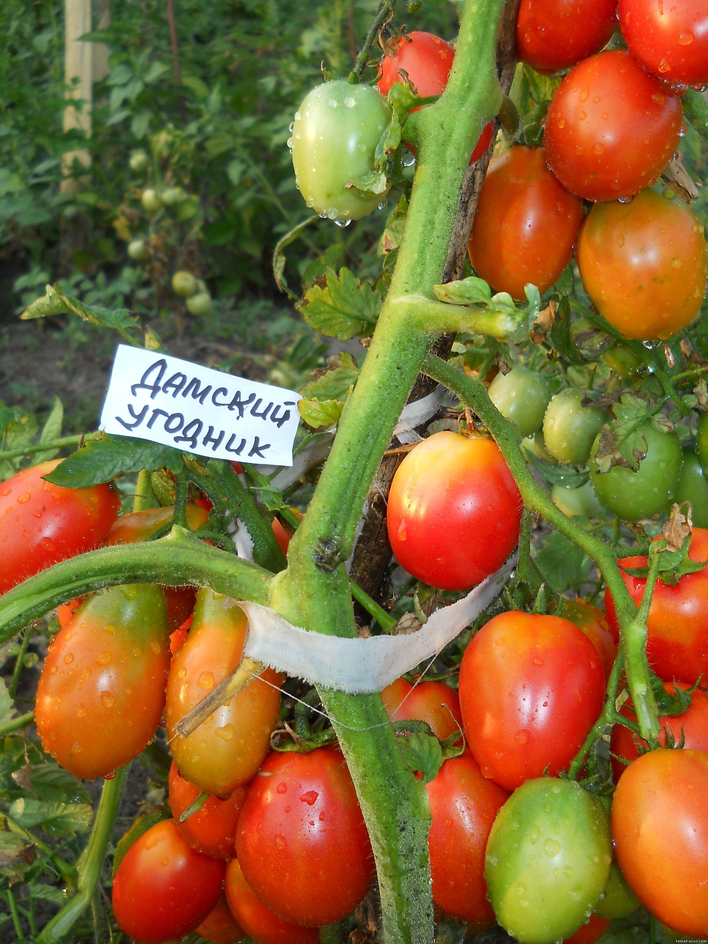 """Отзыв о Семена томата Сибирский сад """"Лопатинские"""" Сорт радует 76"""